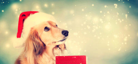 Dachshund dog wearing Santa hat with a red Christmas gift box